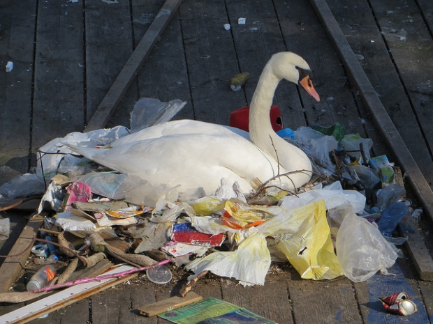 swan-m