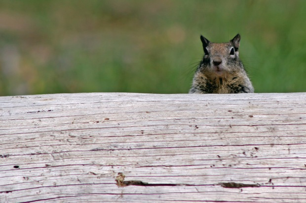Squirrel peering from behind log