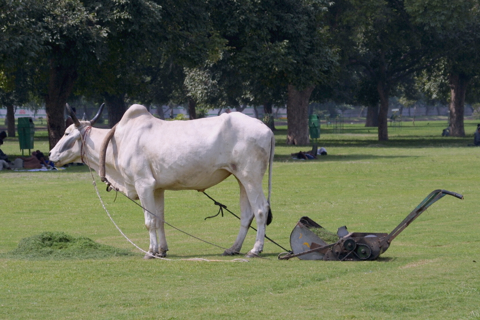 A cow pulls a lawnmower on the Rajpath in New Delhi